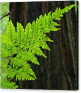 Office Art Ferns Art Redwood Tree Forest Fern Giclee Prints Baslee Troutman Canvas Print