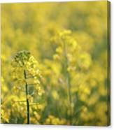 Oilseed Rape Canvas Print