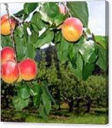 Okanagan Apricots Canvas Print