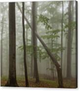 Old Beech Forest Canvas Print