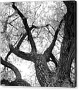 Old Cottonwood Tree Canvas Print