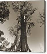 Old Cypress Tree Canvas Print