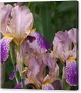 Old-fashioned Iris Canvas Print