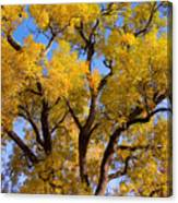 Old Giant  Autumn Cottonwood Canvas Print