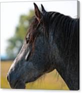 Old Gray Mare Canvas Print