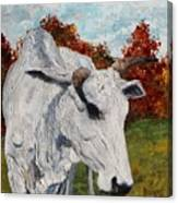 Old Grey Cow Canvas Print