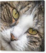 Old Kitty Canvas Print