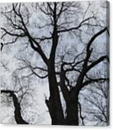 Old Oak Overcast Canvas Print
