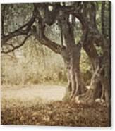 Old Olive Tree Canvas Print