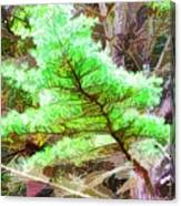 Old Pine Tree 1 Canvas Print