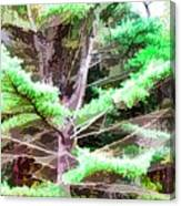Old Pine Tree Canvas Print