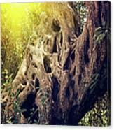 Old Sacred Olive Tree  Canvas Print
