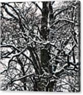 Old Tree 5 Canvas Print