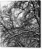 Old Tree 6 Canvas Print
