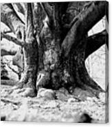 Old Tree Ground Up Canvas Print