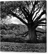 Old Tree In Germany Canvas Print