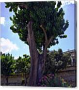 Old Tree In Palermo Canvas Print