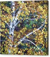 Old Yellow Birch Canvas Print