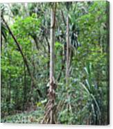 Oldest Tree In Secret Falls Or Uluwehi Falls Canvas Print