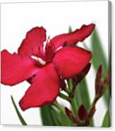 Oleander Blood-red Velvet 2 Canvas Print