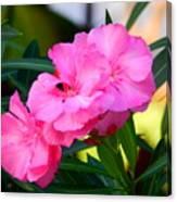 Oleander Blooming Canvas Print