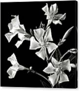 Oleander In Black And White Canvas Print