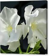 Oleander Mont Blanc 1 Canvas Print