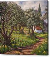 Olive Grove In Spring-time Canvas Print