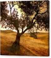Olive Tree Dawn Canvas Print