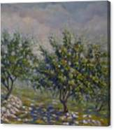 Olive Tree Field Canvas Print