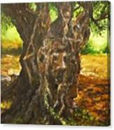 Olive Tree Rooted 1 Canvas Print