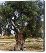 Olive Tree Sicily Canvas Print
