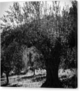 Olive Trees In Italy 2 Canvas Print