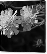 On Pins and Needles a Black and White Photograph of Pincushion Flowers Canvas Print