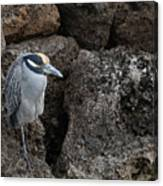 On The Rocks - Yellow-crowned Night Heron Canvas Print