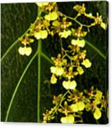 Oncidium Orchids Canvas Print