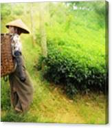One Day In Tea Plantation  Canvas Print