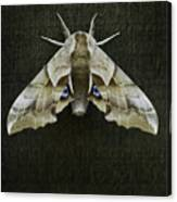 One Eyed Sphinx Moth Canvas Print