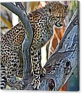 One Little Cheetah Sitting In A Tree Canvas Print