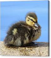 One Little Duckling Canvas Print