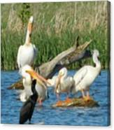 One Sassy Pelican And Friends, West Central Minnesota Canvas Print