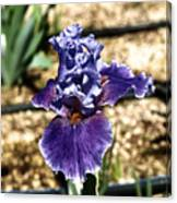 One Sole Iris In Bloom Canvas Print