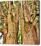 One Tree Six Trunks Canvas Print
