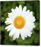 One White Daisy Canvas Print