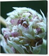 Onion Blossom Canvas Print