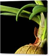 Onion Sprouting Canvas Print