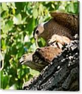 Cooper's Hawks Mating Canvas Print