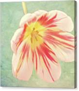 Open Bi-coloured Tulip Canvas Print