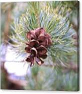 Open Pine Cone Canvas Print