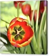 Open Tulip Canvas Print